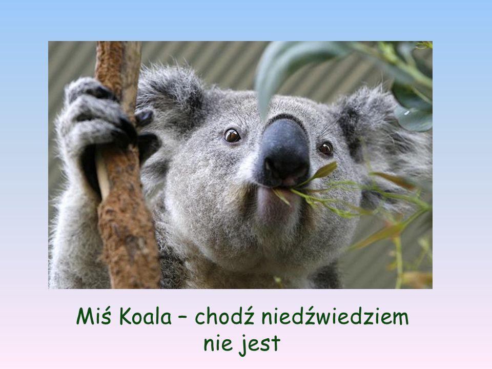 Miś Koala – chodź niedźwiedziem nie jest