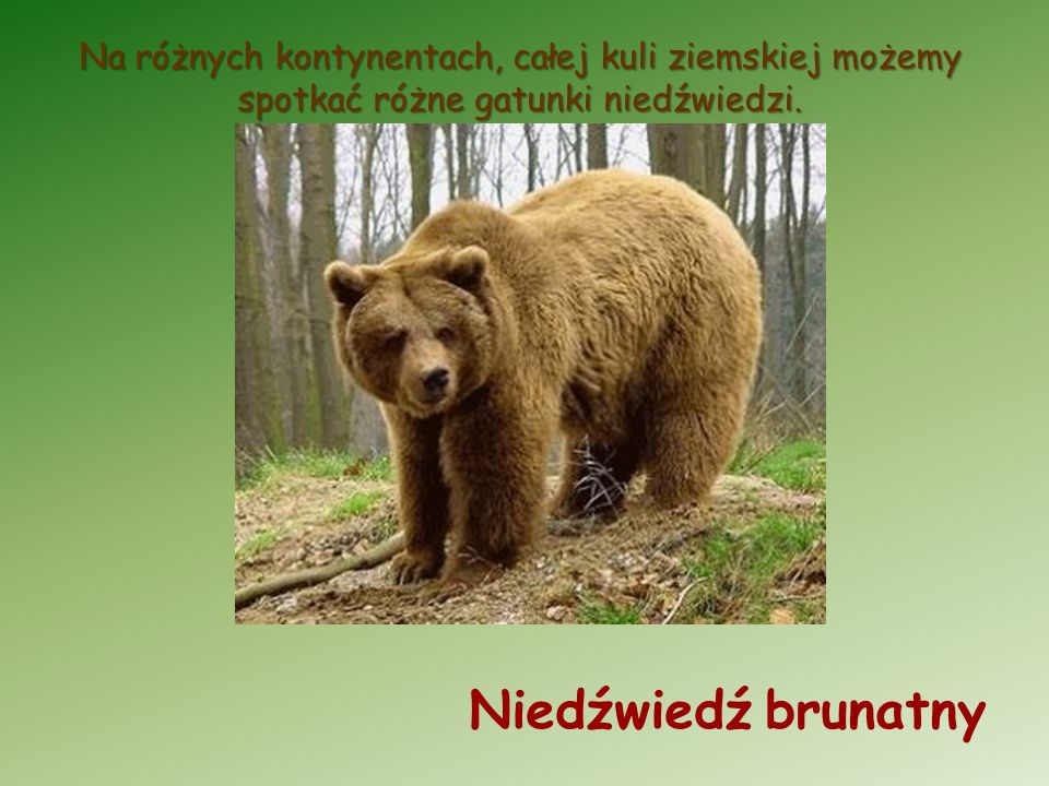 Na różnych kontynentach, całej kuli ziemskiej możemy spotkać różne gatunki niedźwiedzi. Niedźwiedź brunatny