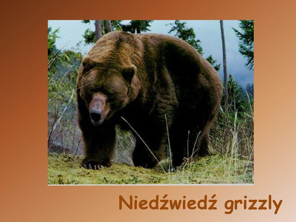 Niedźwiedź andyjski
