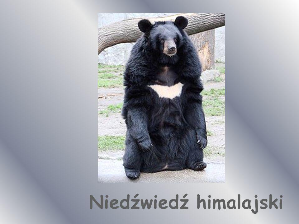 Panda – niedźwiedź bambusowy