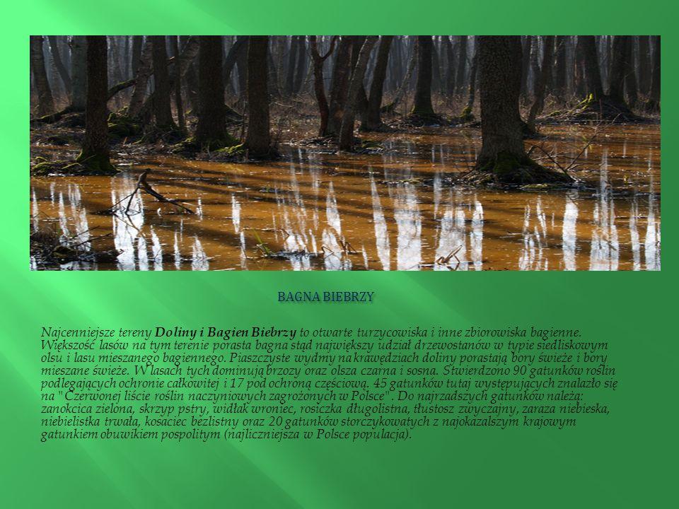 BAGNA BIEBRZY BAGNA BIEBRZY Najcenniejsze tereny Doliny i Bagien Biebrzy to otwarte turzycowiska i inne zbiorowiska bagienne. Większość lasów na tym t