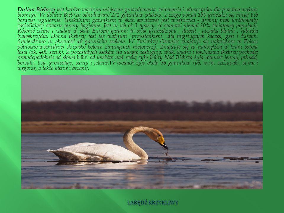 ŁABĘDŹ KRZYKLIWY ŁABĘDŹ KRZYKLIWY Dolina Biebrzy jest bardzo ważnym miejscem gniazdowania, żerowania i odpoczynku dla ptactwa wodno- błotnego. W dolin