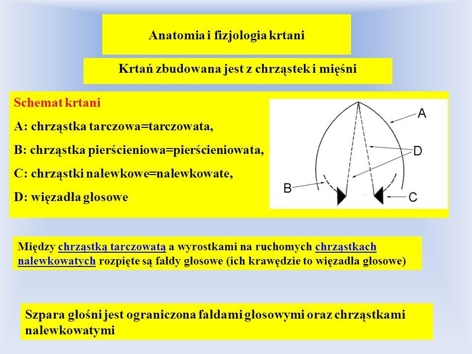 Anatomia i fizjologia krtani Krtań zbudowana jest z chrząstek i mięśni Schemat krtani A: chrząstka tarczowa=tarczowata, B: chrząstka pierścieniowa=pie