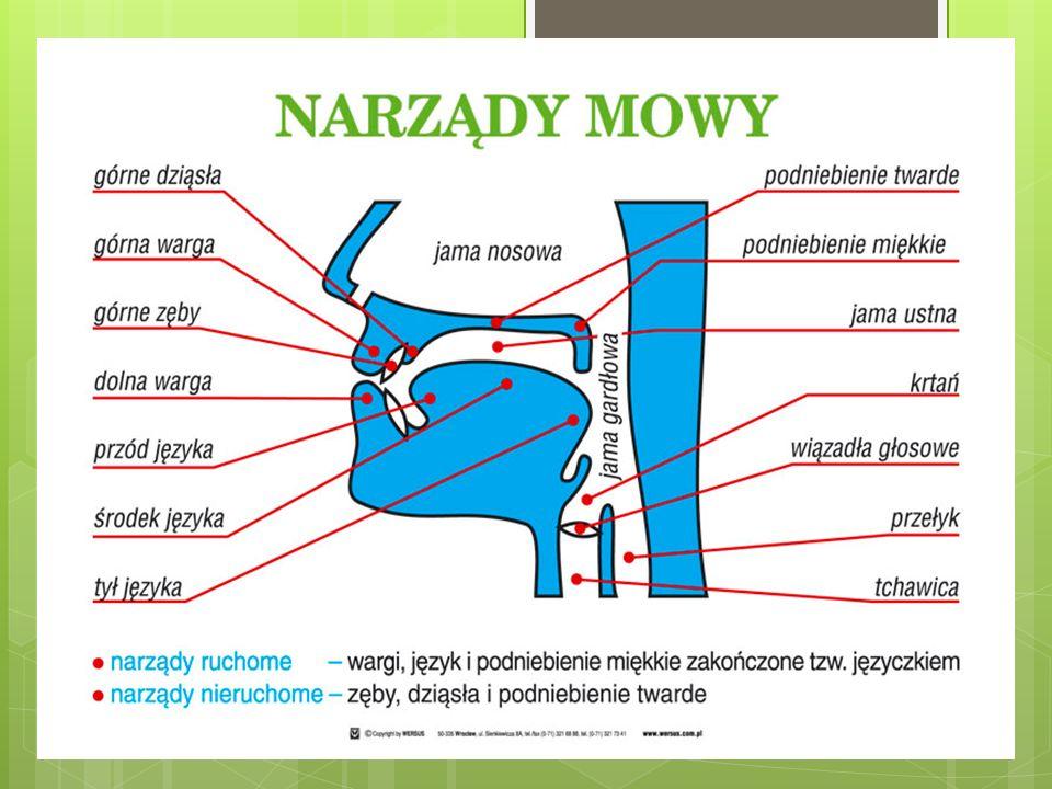 NARZĄDY MOWY BIORĄCE UDZIAŁ W POWSTAWANIU GŁOSEK *Płuca *tchawica z krtanią *jamy: gardłowa, nosowa oraz ustna wraz ze znajdującymi się w niej narząda