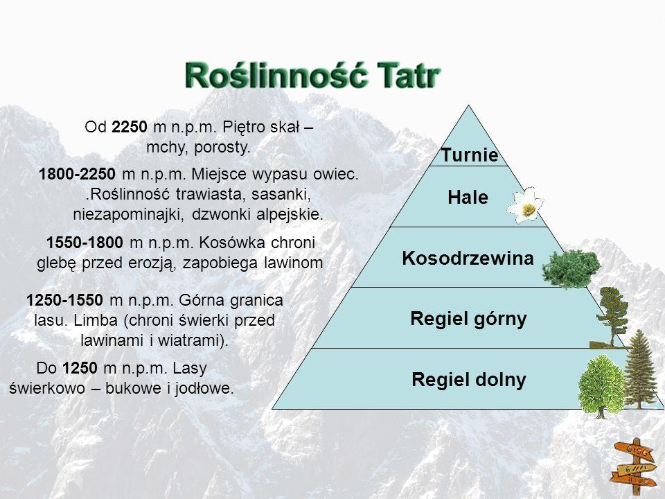Turnie Hale Kosodrzewina Regiel górny Regiel dolny 1250-1550 m n.p.m. Górna granica lasu. Limba (chroni świerki przed lawinami i wiatrami). Do 1250 m