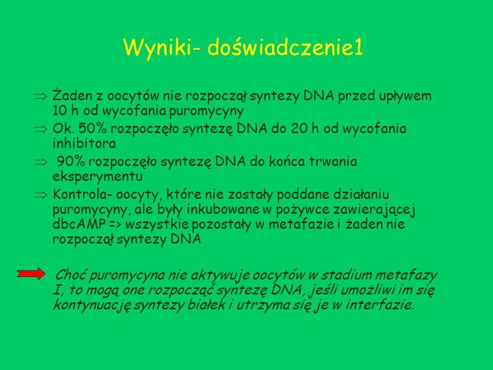 Wyniki- doświadczenie1 Żaden z oocytów nie rozpoczął syntezy DNA przed upływem 10 h od wycofania puromycyny Ok. 50% rozpoczęło syntezę DNA do 20 h od