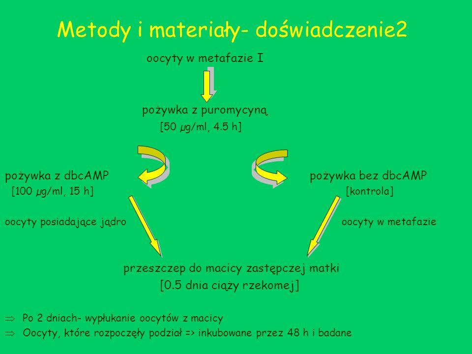 Metody i materiały- doświadczenie2 oocyty w metafazie I pożywka z puromycyną [50 µg/ml, 4.5 h] pożywka z dbcAMP pożywka bez dbcAMP [100 µg/ml, 15 h] [