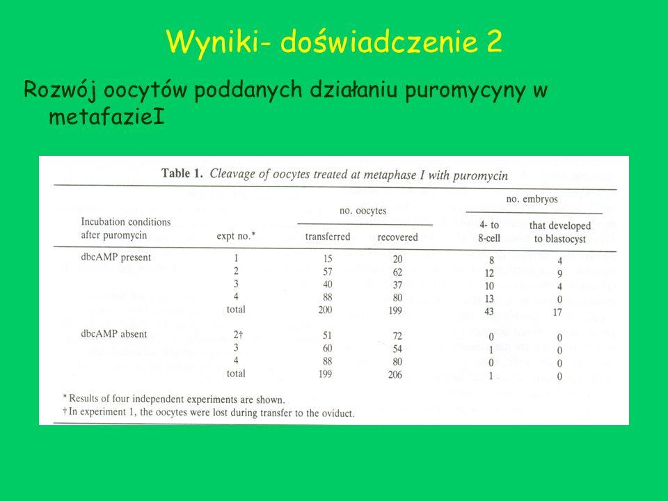 Wyniki- doświadczenie 2 Rozwój oocytów poddanych działaniu puromycyny w metafazieI