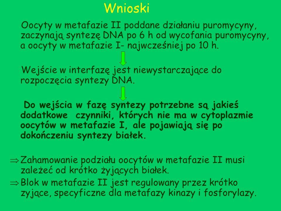 Wnioski Oocyty w metafazie II poddane działaniu puromycyny, zaczynają syntezę DNA po 6 h od wycofania puromycyny, a oocyty w metafazie I- najwcześniej