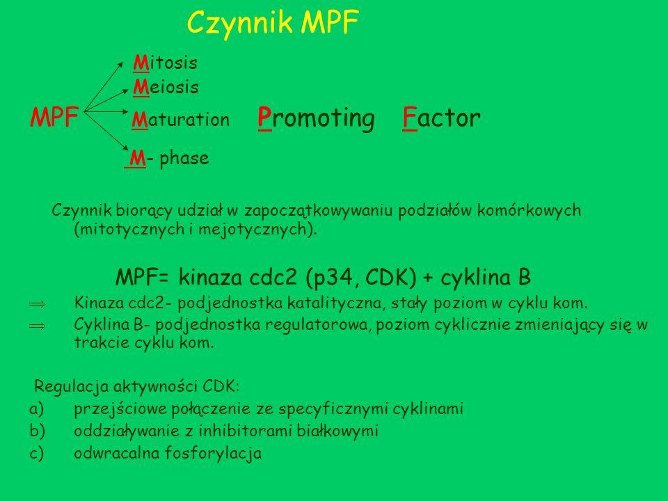 Czynnik MPF Mitosis Meiosis MPF Maturation Promoting Factor M- phase Czynnik biorący udział w zapoczątkowywaniu podziałów komórkowych (mitotycznych i