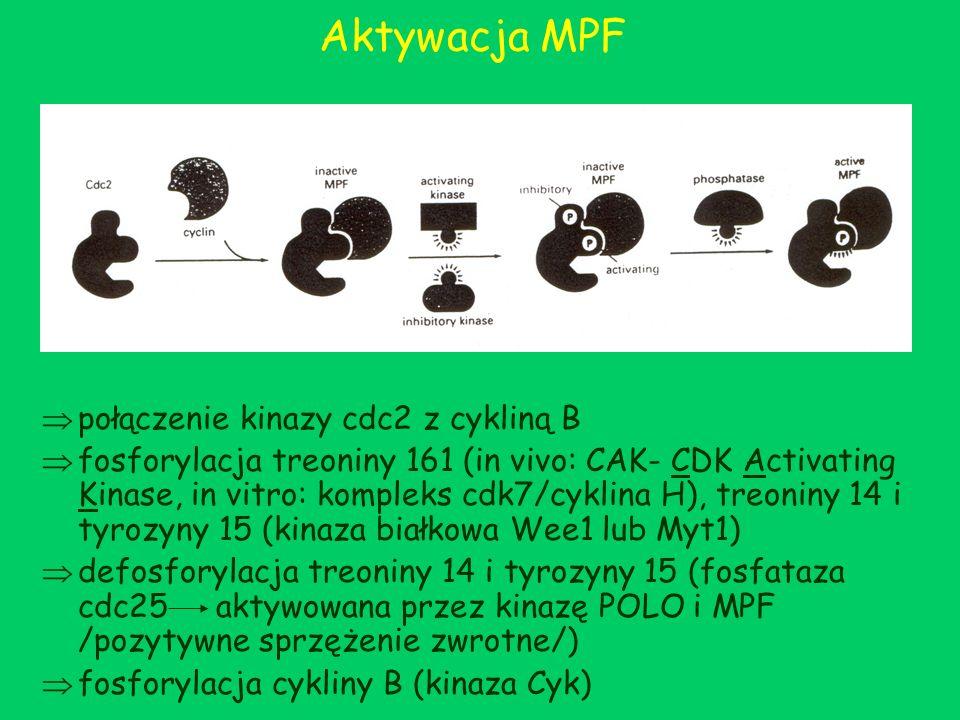 Aktywacja MPF połączenie kinazy cdc2 z cykliną B fosforylacja treoniny 161 (in vivo: CAK- CDK Activating Kinase, in vitro: kompleks cdk7/cyklina H), t