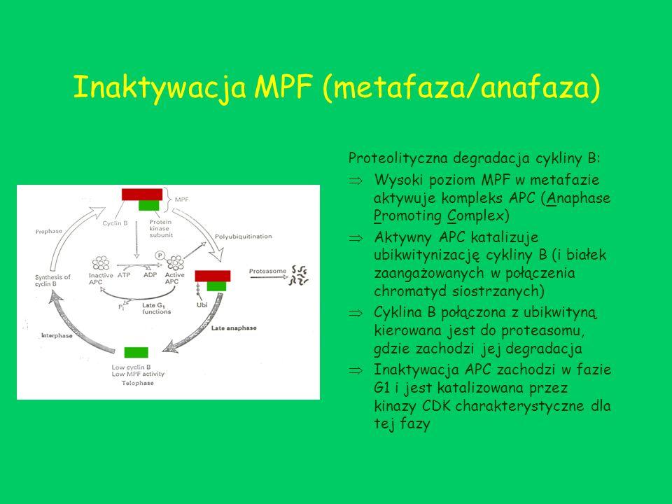Inaktywacja MPF (metafaza/anafaza) Proteolityczna degradacja cykliny B: Wysoki poziom MPF w metafazie aktywuje kompleks APC (Anaphase Promoting Comple