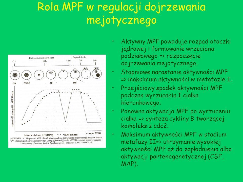 Rola MPF w regulacji dojrzewania mejotycznego Aktywny MPF powoduje rozpad otoczki jądrowej i formowanie wrzeciona podziałowego => rozpoczęcie dojrzewa