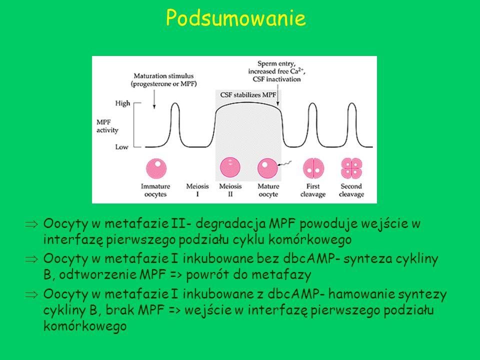 Podsumowanie Oocyty w metafazie II- degradacja MPF powoduje wejście w interfazę pierwszego podziału cyklu komórkowego Oocyty w metafazie I inkubowane