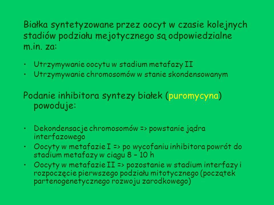 Oocyty, potraktowane w metafazie I puromycyną, można zatrzymać w stadium interfazy przez podanie dwumaślanu cyklicznego AMP (dbcAMP) => zapobiega syntezie białek odpowiedzialnych za kondensację chromosomów.