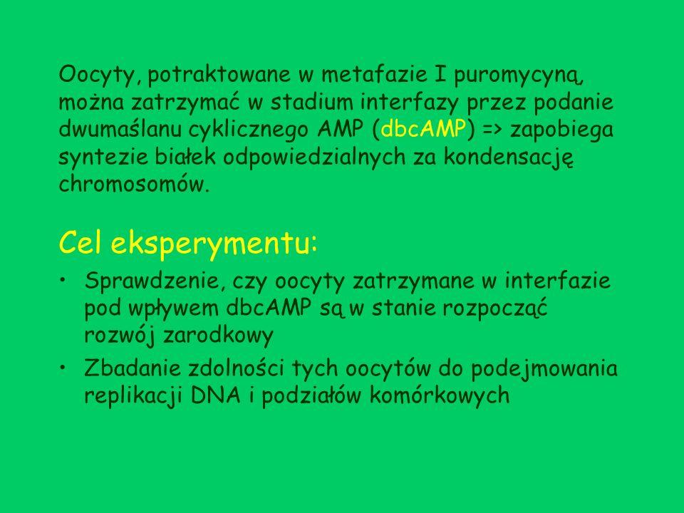 Metody i materiały- doświadczenie 1 Myszy ze szczepu HS lub CD1 otrzymały zastrzyk z serogonadotropiny źrebnych klaczy (5 j./mysz) => zabite po 44 – 48 h od podania hormonu Oocyty wykłuwane z jajników w pożywce z dbcAMP (50 µg/ml) => zapobieganie spontanicznemu rozpadowi pęcherzyka zarodkowego 100 – 200 w pełni wyrośniętych, niedojrzałych oocytów zawierających nienaruszony pęcherzyk zarodkowy Inkubacja niedojrzałych oocytów w pożywce nie zawierającej dbcAMP (5% CO2, 37º C): a)przez 8 – 9 h => wybranie oocytów, które przeszły rozpad pęcherzyka zarodkowego (nie posiadających jądra), ale nie wyrzuciły ciałka kierunkowego => oocyty w metafazie I b)przez 20 h => wybranie oocytów, które przeszły rozpad pęcherzyka zarodkowego i wyrzuciły pierwsze ciałko kierunkowe => oocyty w metafazie II