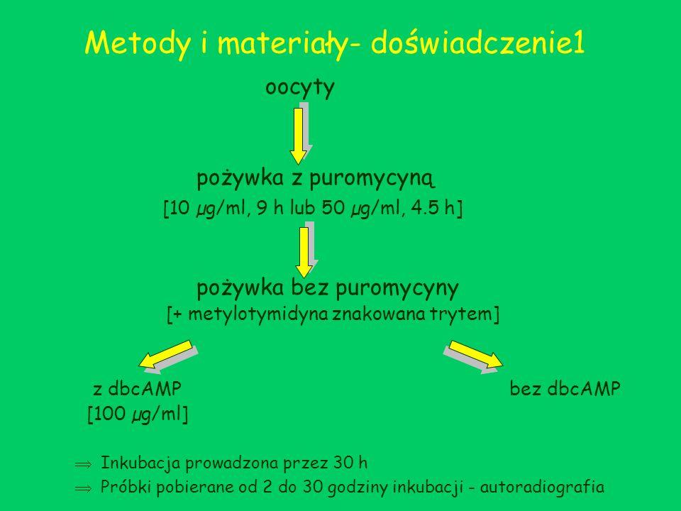 Wyniki- doświadczenie 1 Oocyty w metafazie II: Początkowo 59%, po powtórzeniu eksperymentu 82%, wyrzuciło II ciałko kierunkowe i osiągnęło stadium przedjądrza Po wycofaniu puromycyny rozpoczynały syntezę DNA bez względu na obecność lub brak w pożywce dbcAMP Ok.
