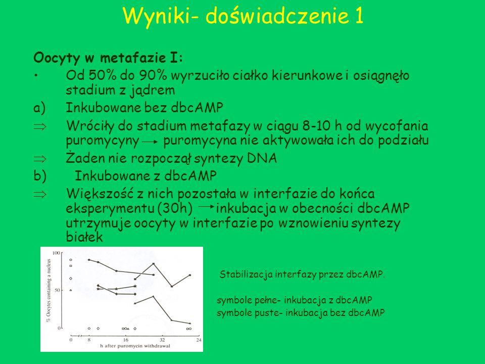 Wyniki- doświadczenie 1 Oocyty w metafazie I: Od 50% do 90% wyrzuciło ciałko kierunkowe i osiągnęło stadium z jądrem a)Inkubowane bez dbcAMP Wróciły d