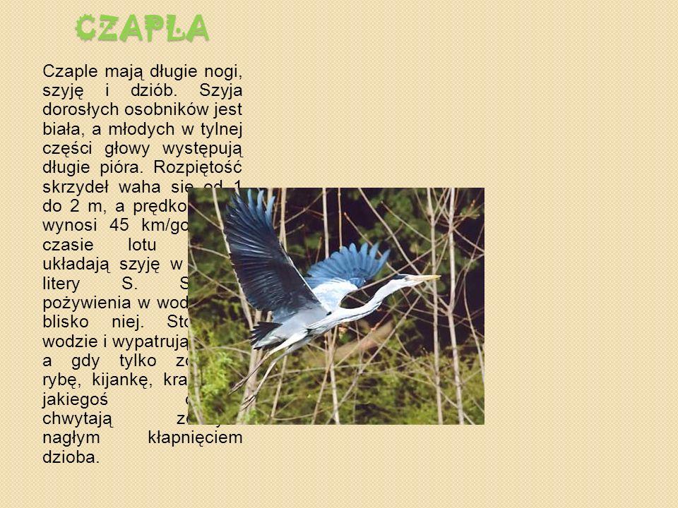 CZAPLA Czaple mają długie nogi, szyję i dziób.