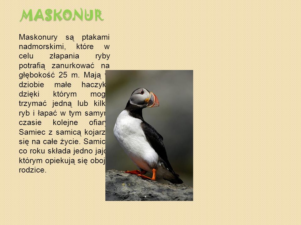 MASKONUR Maskonury są ptakami nadmorskimi, które w celu złapania ryby potrafią zanurkować na głębokość 25 m.