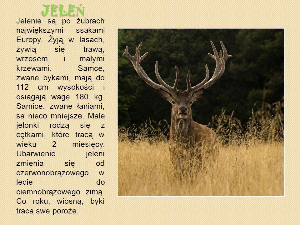 JELE Ń Jelenie są po żubrach największymi ssakami Europy.