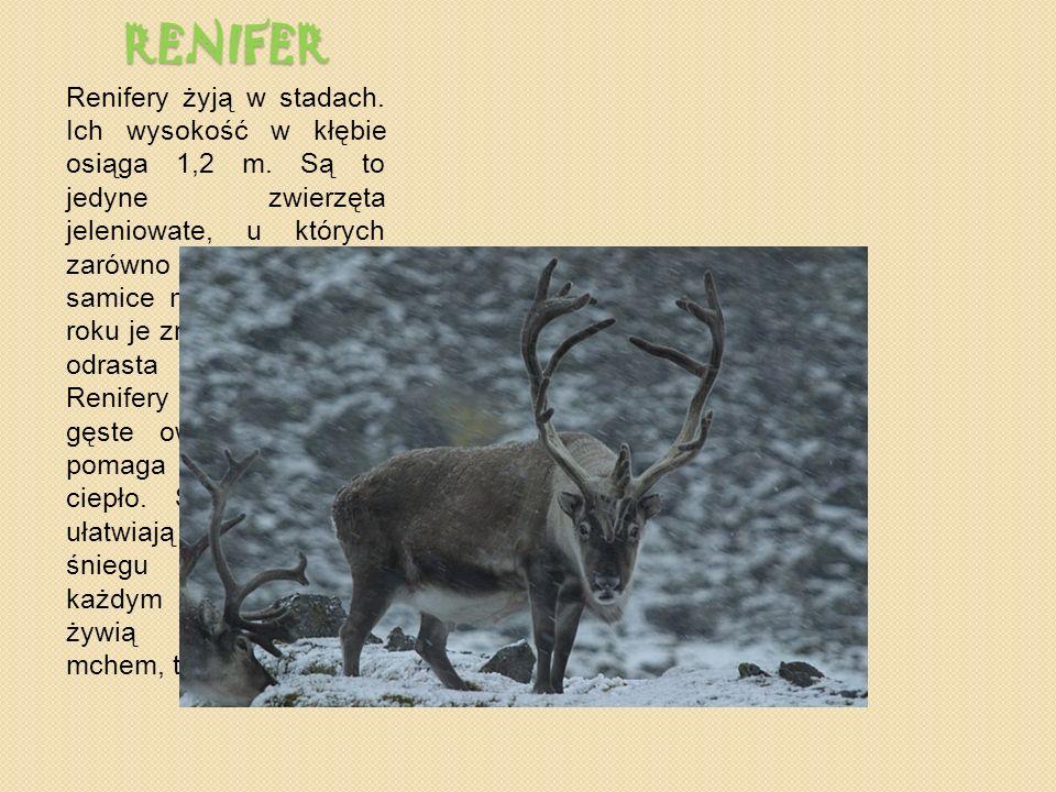 RENIFER Renifery żyją w stadach.Ich wysokość w kłębie osiąga 1,2 m.
