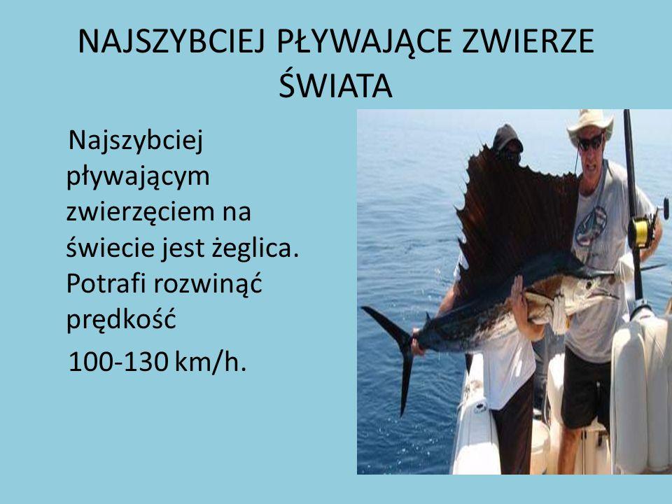 NAJSZYBCIEJ PŁYWAJĄCE ZWIERZE ŚWIATA Najszybciej pływającym zwierzęciem na świecie jest żeglica. Potrafi rozwinąć prędkość 100-130 km/h.