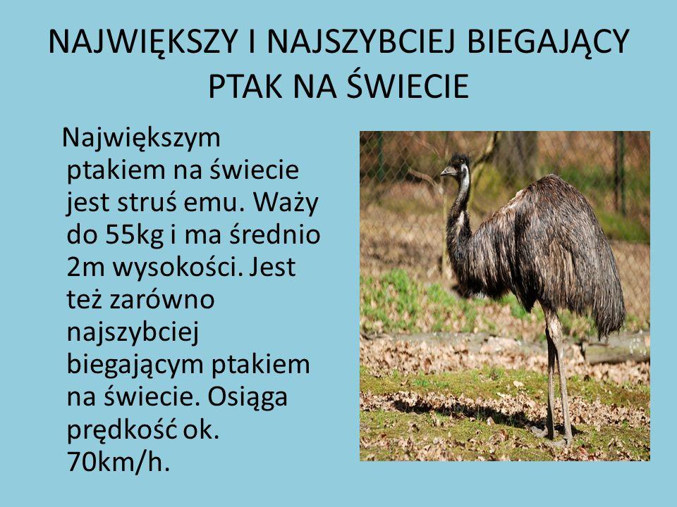 NAJWIĘKSZY I NAJSZYBCIEJ BIEGAJĄCY PTAK NA ŚWIECIE Największym ptakiem na świecie jest struś emu. Waży do 55kg i ma średnio 2m wysokości. Jest też zar