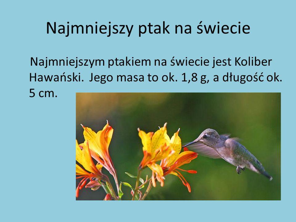 Najmniejszy ptak na świecie Najmniejszym ptakiem na świecie jest Koliber Hawański. Jego masa to ok. 1,8 g, a długość ok. 5 cm.