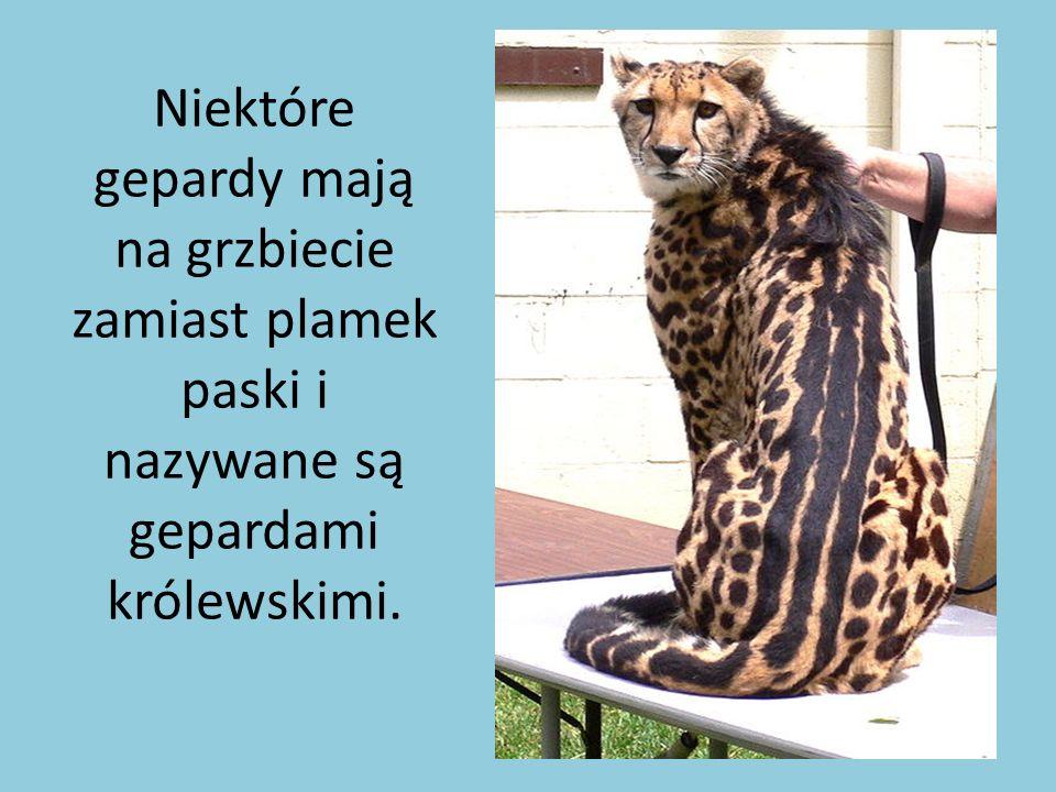 Niektóre gepardy mają na grzbiecie zamiast plamek paski i nazywane są gepardami królewskimi.