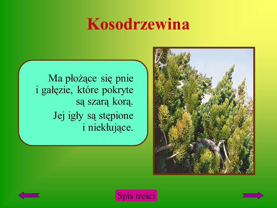 Kosodrzewina Krzew z rodziny sosnowatych. Porasta wyższe pasma górskie. Spis treści