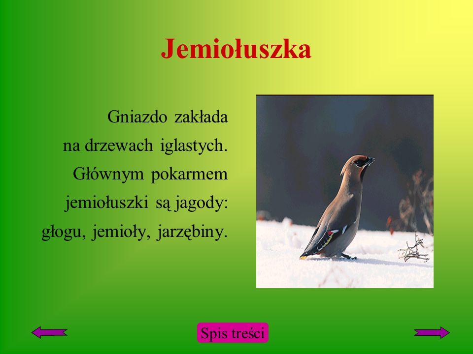 Jemiołuszka Ptak wędrowny. Do Polski przylatuje w listopadzie, odlatuje w marcu i kwietniu. Spis treści
