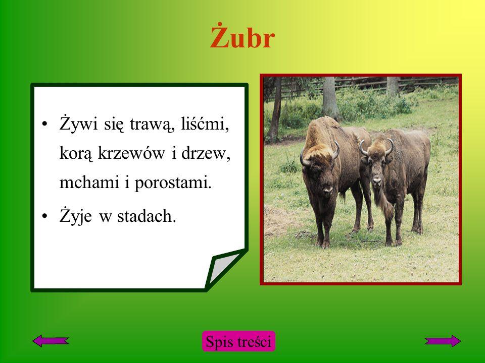 Żubr Występuje w Puszczy Białowieskiej. Groziło mu całkowite wyginięcie. Żyje 30-35 lat. Spis treści