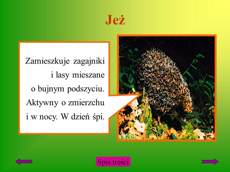 Ryś Występuje w Karpatach i Puszczy Białowieskiej. Futro żółtawoszrae z ciemnymi cętkami. Na czubkach uszu czarne pędzelki włosów. Aktywny o zmierzchu