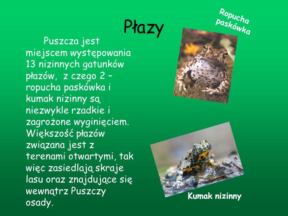 Płazy Puszcza jest miejscem występowania 13 nizinnych gatunków płazów, z czego 2 – ropucha paskówka i kumak nizinny są niezwykle rzadkie i zagrożone w