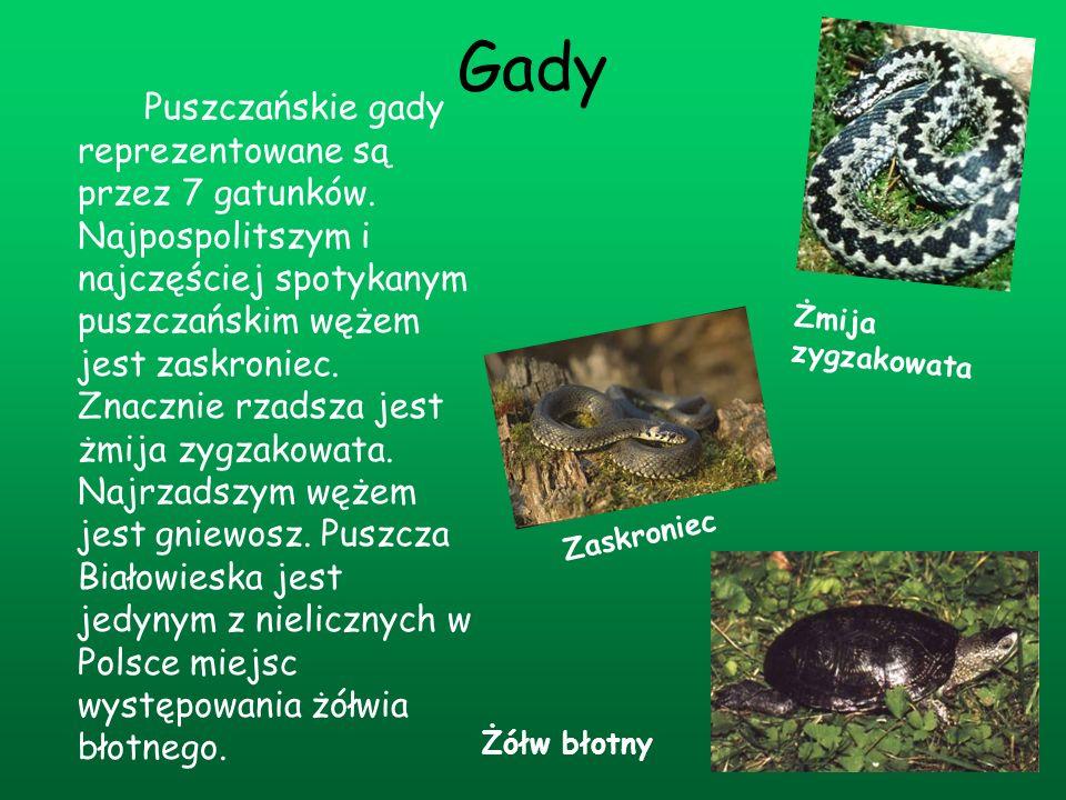 Gady Puszczańskie gady reprezentowane są przez 7 gatunków. Najpospolitszym i najczęściej spotykanym puszczańskim wężem jest zaskroniec. Znacznie rzads