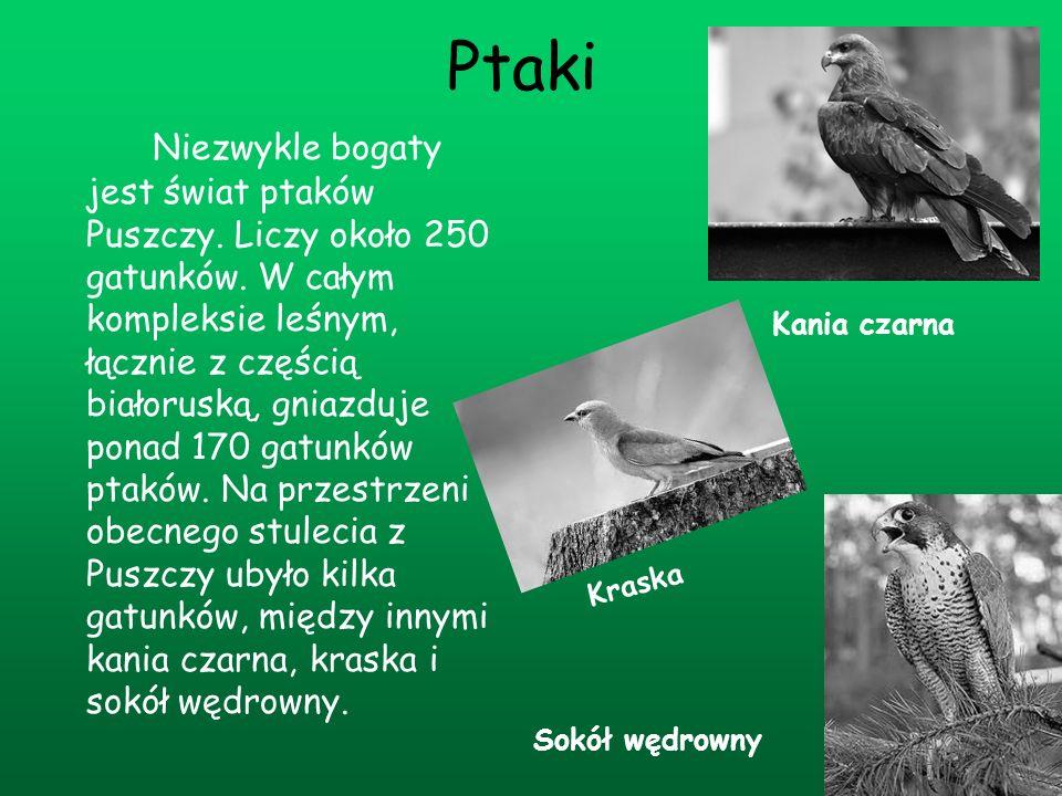 Ptaki Niezwykle bogaty jest świat ptaków Puszczy. Liczy około 250 gatunków. W całym kompleksie leśnym, łącznie z częścią białoruską, gniazduje ponad 1