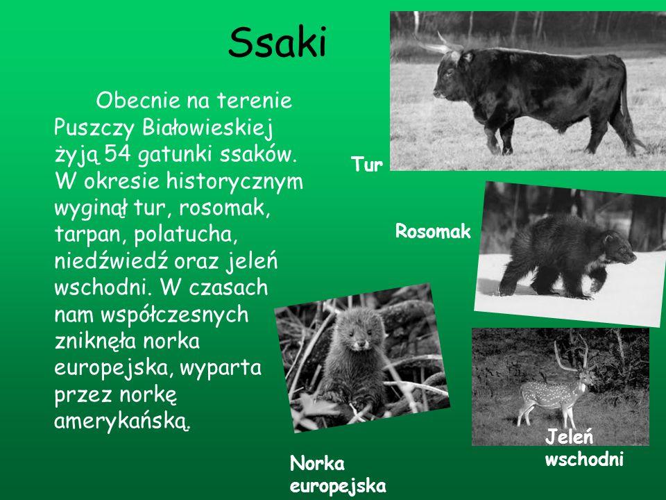 Ssaki Obecnie na terenie Puszczy Białowieskiej żyją 54 gatunki ssaków. W okresie historycznym wyginął tur, rosomak, tarpan, polatucha, niedźwiedź oraz