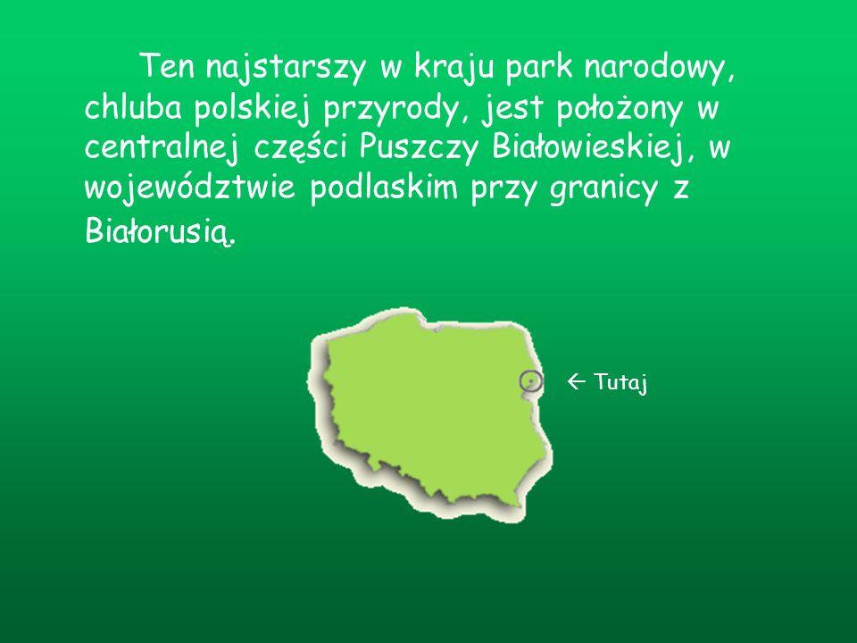 Ten najstarszy w kraju park narodowy, chluba polskiej przyrody, jest położony w centralnej części Puszczy Białowieskiej, w województwie podlaskim przy