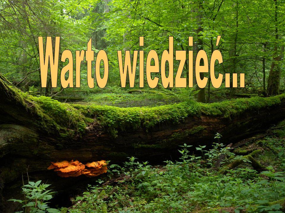 Puszcza Białowieska kryje ostatnie zachowane fragmenty naturalnych lasów liściastych, które niegdyś porastały Europę.