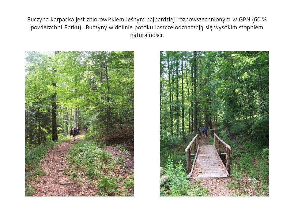 Buczyna karpacka jest zbiorowiskiem leśnym najbardziej rozpowszechnionym w GPN (60 % powierzchni Parku). Buczyny w dolinie potoku Jaszcze odznaczają s