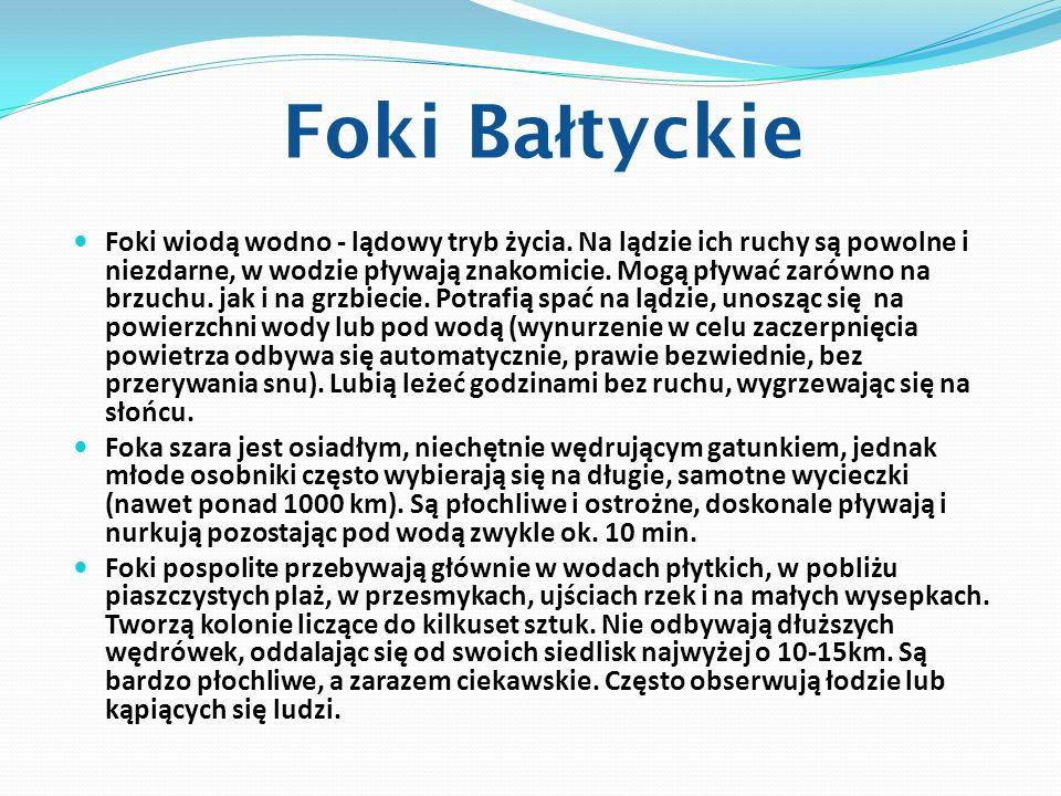 Foki Ba ł tyckie Foki wiodą wodno - lądowy tryb życia. Na lądzie ich ruchy są powolne i niezdarne, w wodzie pływają znakomicie. Mogą pływać zarówno na