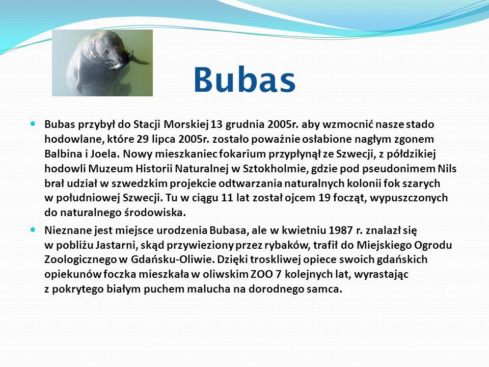 Bubas Bubas przybył do Stacji Morskiej 13 grudnia 2005r. aby wzmocnić nasze stado hodowlane, które 29 lipca 2005r. zostało poważnie osłabione nagłym z