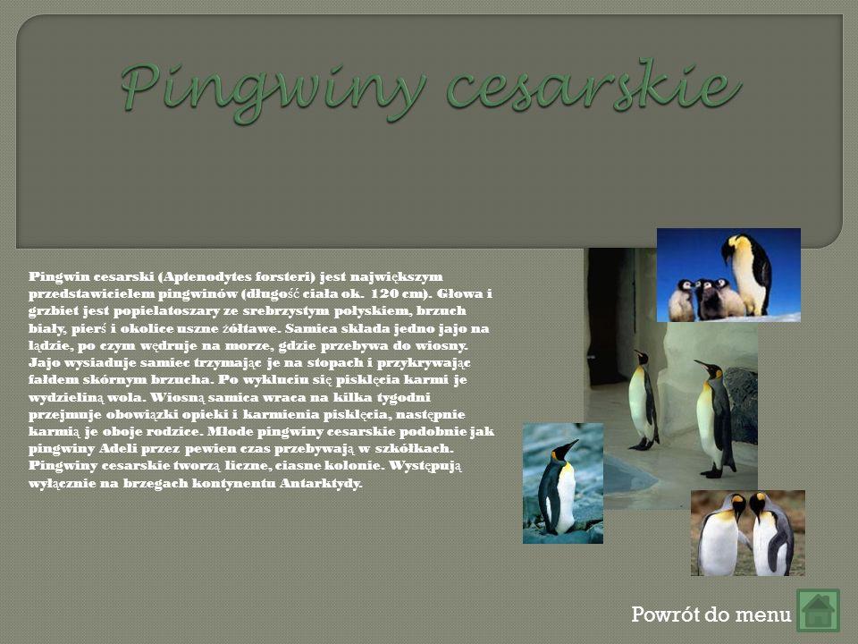 Powrót do menu Pingwin cesarski (Aptenodytes forsteri) jest najwi ę kszym przedstawicielem pingwinów (długo ść ciała ok.