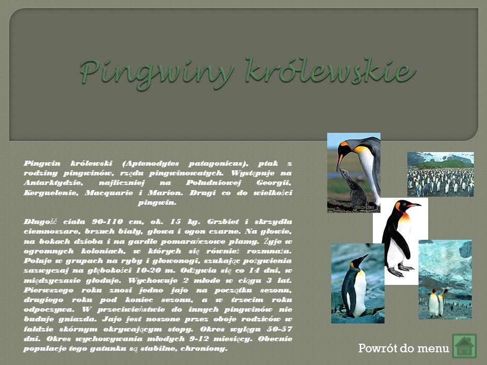 Powrót do menu Pingwin królewski (Aptenodytes patagonicus), ptak z rodziny pingwinów, rz ę du pingwinowatych.