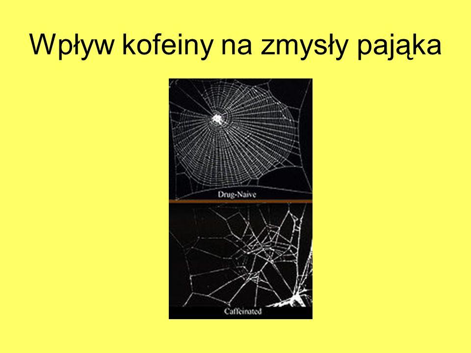 Wpływ kofeiny na zmysły pająka
