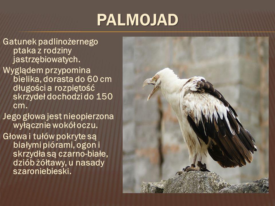 PALMOJAD Gatunek padlinożernego ptaka z rodziny jastrzębiowatych.