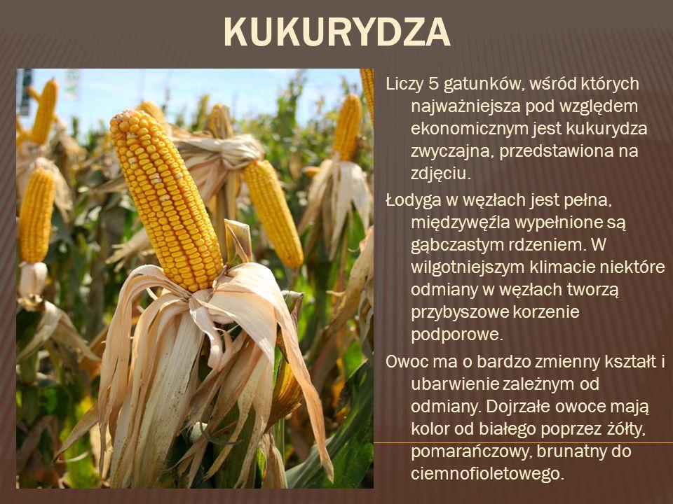 Liczy 5 gatunków, wśród których najważniejsza pod względem ekonomicznym jest kukurydza zwyczajna, przedstawiona na zdjęciu.