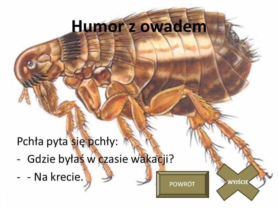 Humor z owadem Pchła pyta się pchły: -Gdzie byłaś w czasie wakacji? -- Na krecie. WYJŚCIE POWRÓT