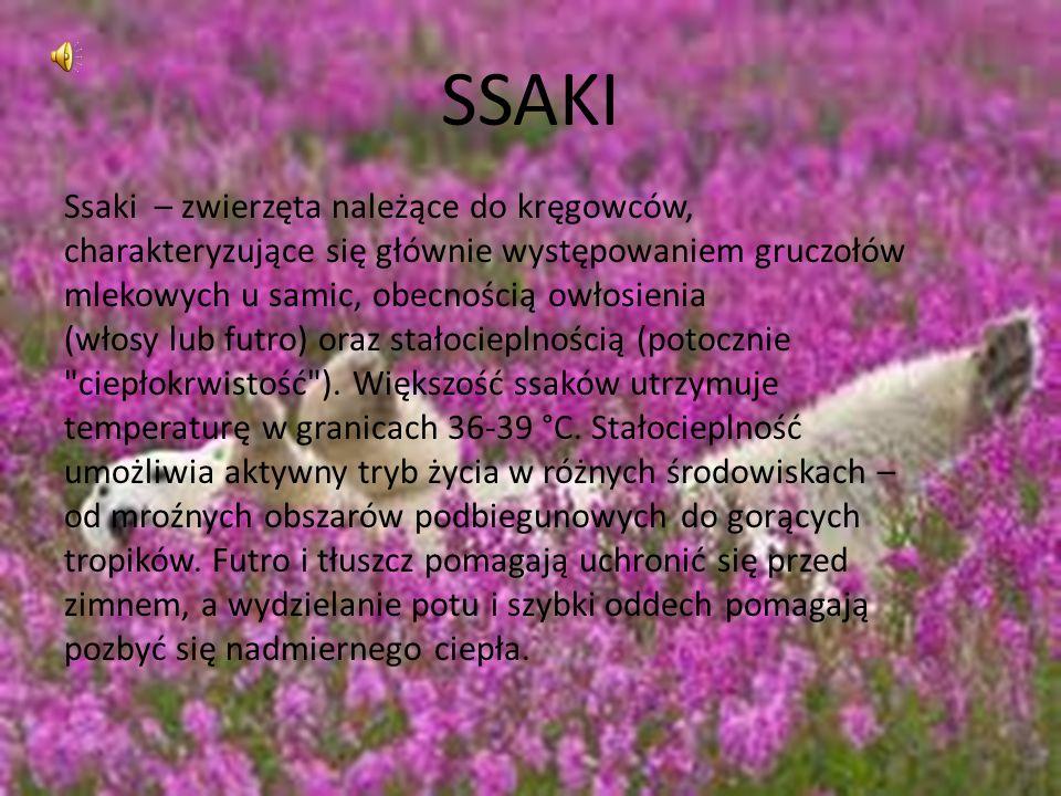SSAKI Ssaki – zwierzęta należące do kręgowców, charakteryzujące się głównie występowaniem gruczołów mlekowych u samic, obecnością owłosienia (włosy lu